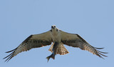 Osprey Carrying Fish to Nest poster