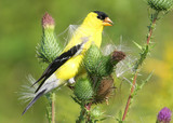 Hungry American Goldfinch Eating Thistle from a Purple Flower poster