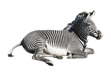 Grevy's zebra resting over white background