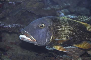 Tropical fish Emperor