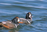Harlequin Ducks Swimming in the Atlantic Ocean poster
