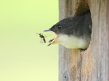 Baby Tree Swallow Catching a Bee poster