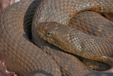Coiled Water Snake Sunning poster