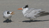 Baby Royal Tern Begging for Food poster