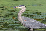 Hungry Great Blue Heron Hunting poster