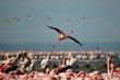 Phoenicopterus ruber (Lesser Flamingo).