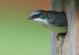 Tree Swallow in Bird House poster