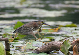 Green Heron Jumping to a New Perch poster