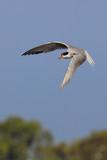 Sterna hirundo (common tern).  poster