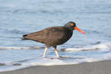 Black Oystercatcher Wading in the Surf poster