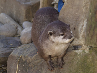 Oriental Small Clawed Otter (Amblonyx Cinereus)