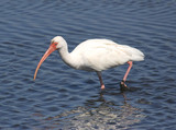 Hungry White Ibis Hunting in the Florida Everglades poster