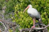 White Ibis in the Florida Everglades poster