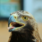 golden eagle - uncommon  - precious - of rare predator