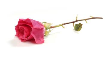 pink/red rose (4)