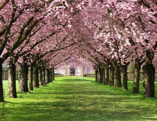 Papiers peints Cerises Kirschblüte