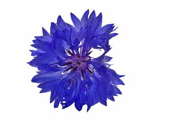 isilated blue cornflower