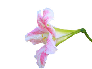 pink and white lilium
