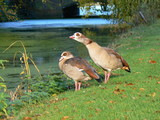 pair of  egyptian geese poster