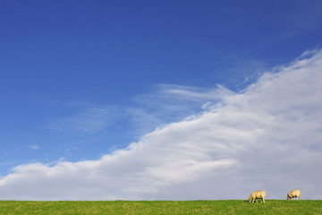 dutch sheep grazing in green fields