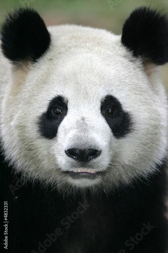 In de dag Panda Giant Panda Bear