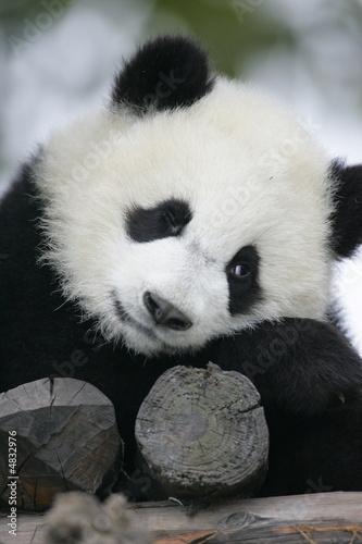 Foto op Canvas Panda Giant Panda Bear