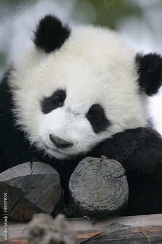 Papiers peints Panda Giant Panda Bear