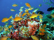 canvas print picture Coral reef fish