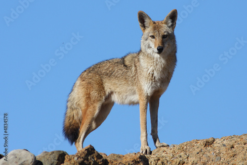 In de dag Wolf Blue Sky Coyote
