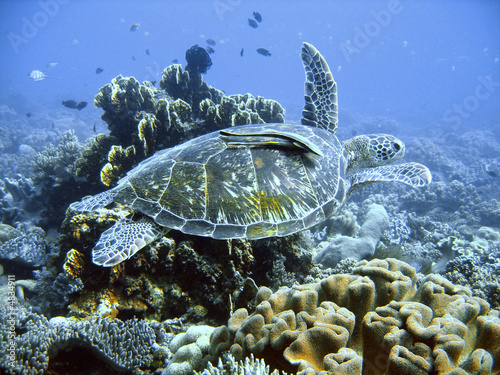 canvas print picture Green sea turtle