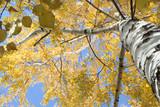 birch stem poster