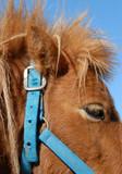 detail de poney shetland poster