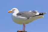 Perched Western Gull poster