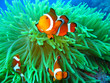 canvas print picture - Nemo found