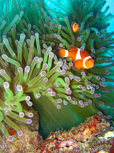 Leinwanddruck Bild Tropical clown fish