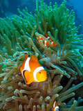 Tropical clown fish