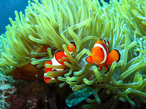 Leinwanddruck Bild clown fish