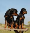 deux chiens rottweiler
