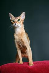 Cat of Abyssinian breed in studio