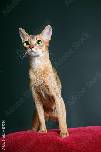 Cat of Abyssinian breed in studio