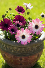 Potted Osteospermum