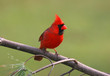 Male Northern Cardinal on a Cold Winter Day