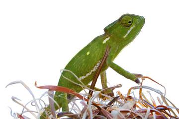 Chameleon 1 - Masked