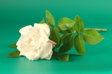 White rose on a green background.