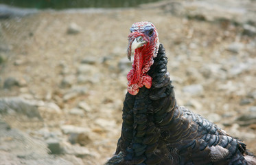 Turkey head