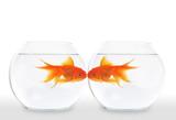Fototapety Goldfish Kiss