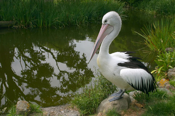 Lonely pelican at the pond.