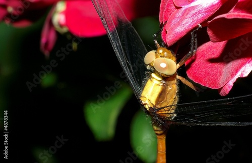 yellow dragonfly 48.