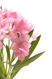 Pink oleander on white background