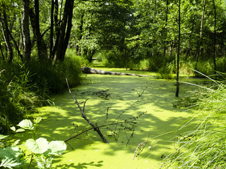 Green wet swamp